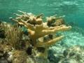 2010 05 10 elkhorn coral RESIZE