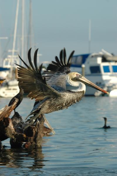 2012 02 07flying pelican RESIZE