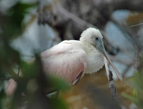 2012 02 14 roseate spoonbill RESIZE