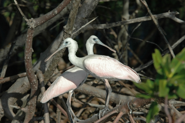 2012 02 15 young roseate spoonbills RESIZE