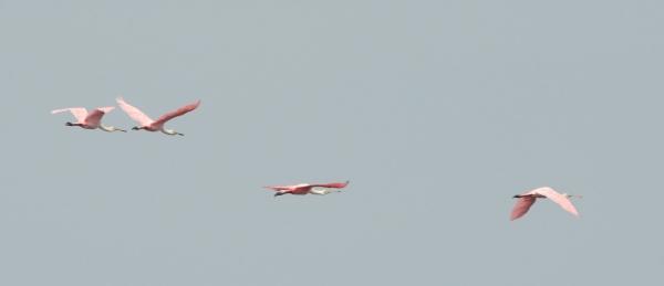 2012-07-01 flying spoonbills RESIZE