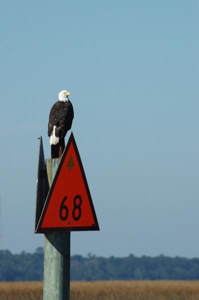 2012-11-09_341 bald eagle RESIZE