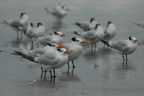 cumberland royal terns 3 take 3 RESIZE