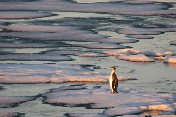 emperor penguin.jpg RESIZE