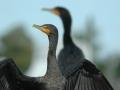 2012 02 07 cormorant RESIZE