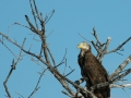 2012 02 15 young bald eagle RESIZE