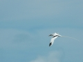 2012-05-21 long tailed tropic bird 2 RESIZE
