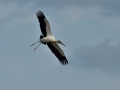 20140225 6028 marco wood stork landing RESIZE