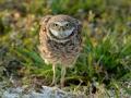 20140225 6149 marco alert burrowing owl RESIZE