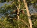 eagle taking flight RESIZE