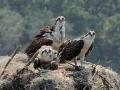 osprey closeup RESIZE