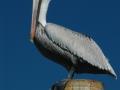 pelican RESIZE