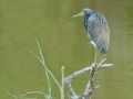 2012 02 14 tricolor heron RESIZE
