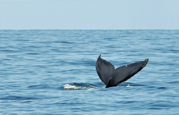 2011 07 16 humpback tail RESIZE