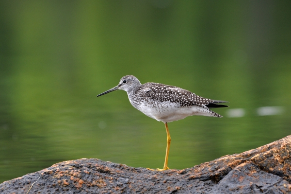 2011 08 11 yellowlegs 2 RESIZE
