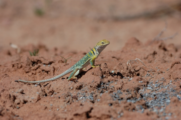 20130429 605 arches collared lizard_01
