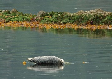 20130623 1297 ganges harbor seal_01