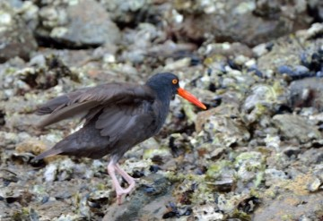 20130718 2637 black oystercatcher 2_01