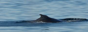 20130807 3337 minke whale fin_01