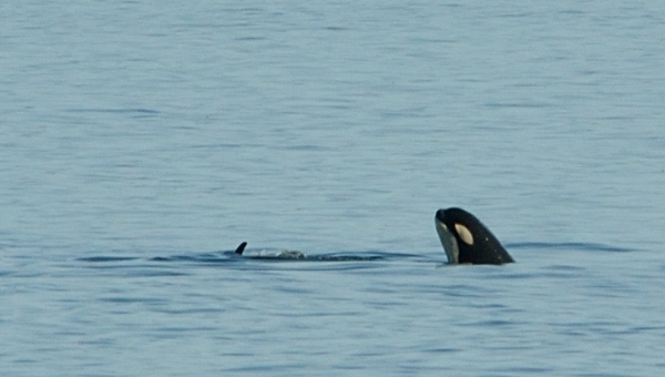 20130807 3397 orca spyhopping closeup_01