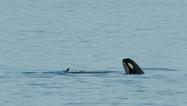 20130807 3397 orca spyhopping closeup_01
