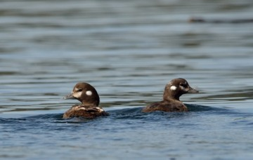 20130808 3514 young white winged scoters_01