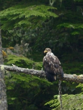 20130810 3573 young bald eagle wings relaxed_01
