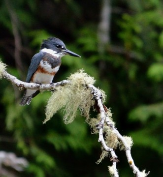 20130817 3946 kingfisher 2_01