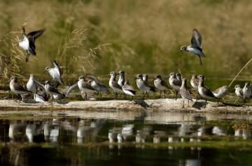 20130822 4200 sanderlings on log_01