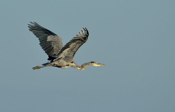 20130908 4300 heron in flight_01
