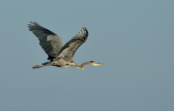 20130908 4300 heron in flight_01