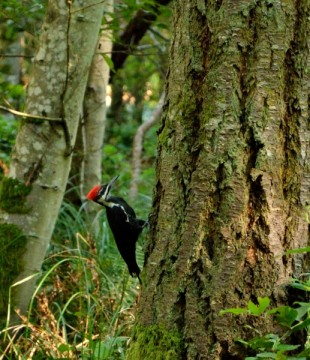 20130911 4419 stuart island pileated woodpecker on tree_01