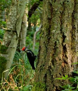 20130911 4419 stuart island pileated woodpecker on tree_01