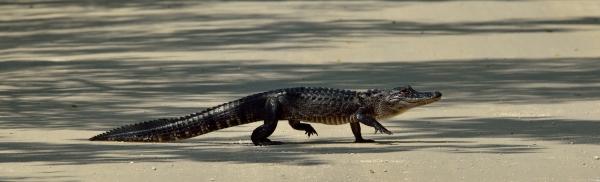 20140225 6070 marco alligator walking_01
