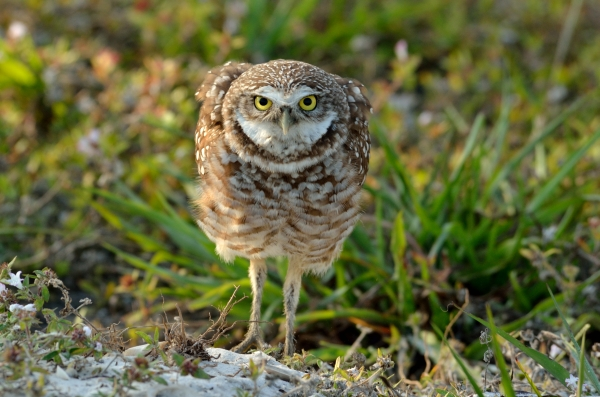 20140225 6149 marco alert burrowing owl_01