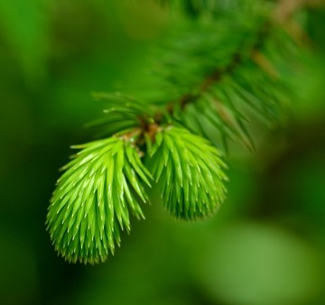 20140515 7205 macro douglas fir new growth RESIZE