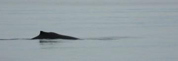 20140530 8154 humpback dorsal  RESIZE