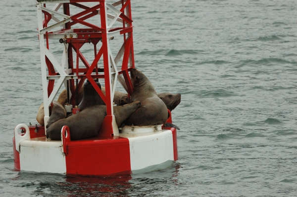 20140607 8178 sea lions on mid-buoy close 3  RESIZE