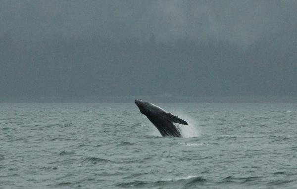 20140607 8204 humpback broach RESIZE