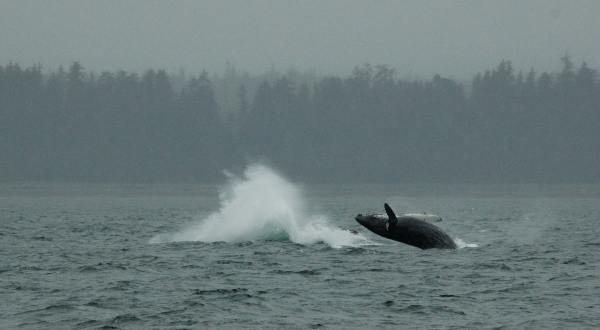 20140607 8214 humpback splash and calf  RESIZE