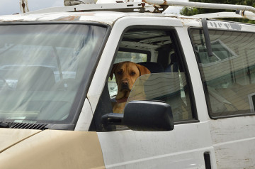 20140619 8830 dog driving van face psr