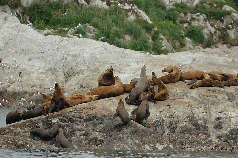 20140625 8950 glacier bay sea lion rookery psr