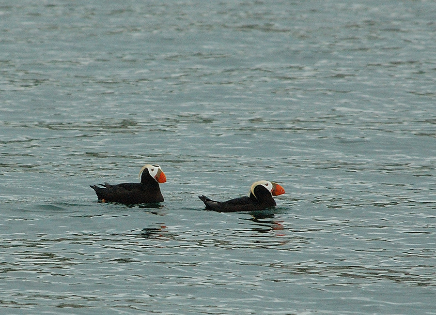 20140625 8983 tufted puffins psr