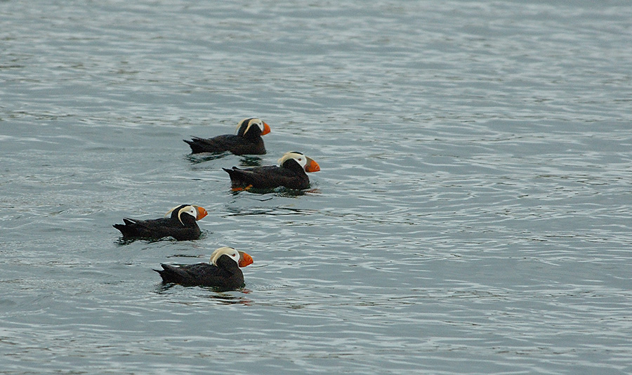 20140625 8998 tufted puffins four psr