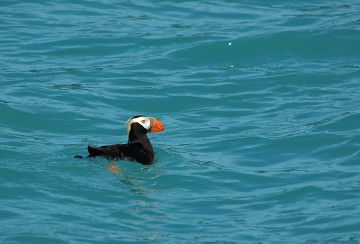 20140627 9141 tufted puffin psr