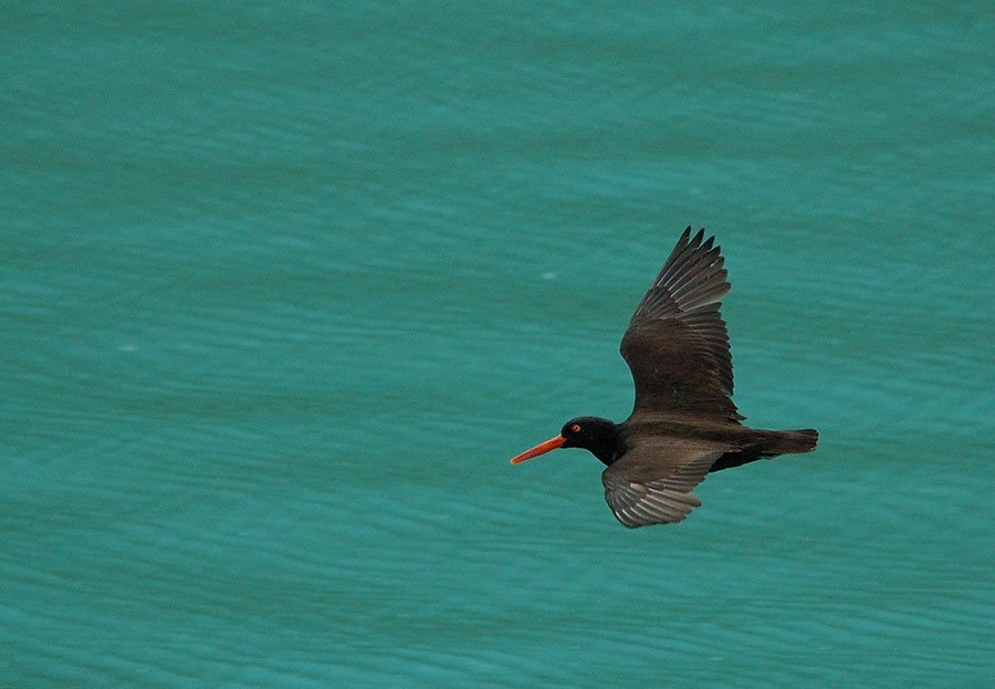 20140627 9167 black oystercatcher in flight psr