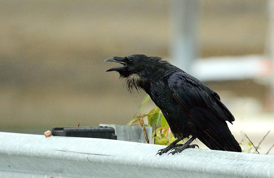 20140703 10022 squawking raven psr