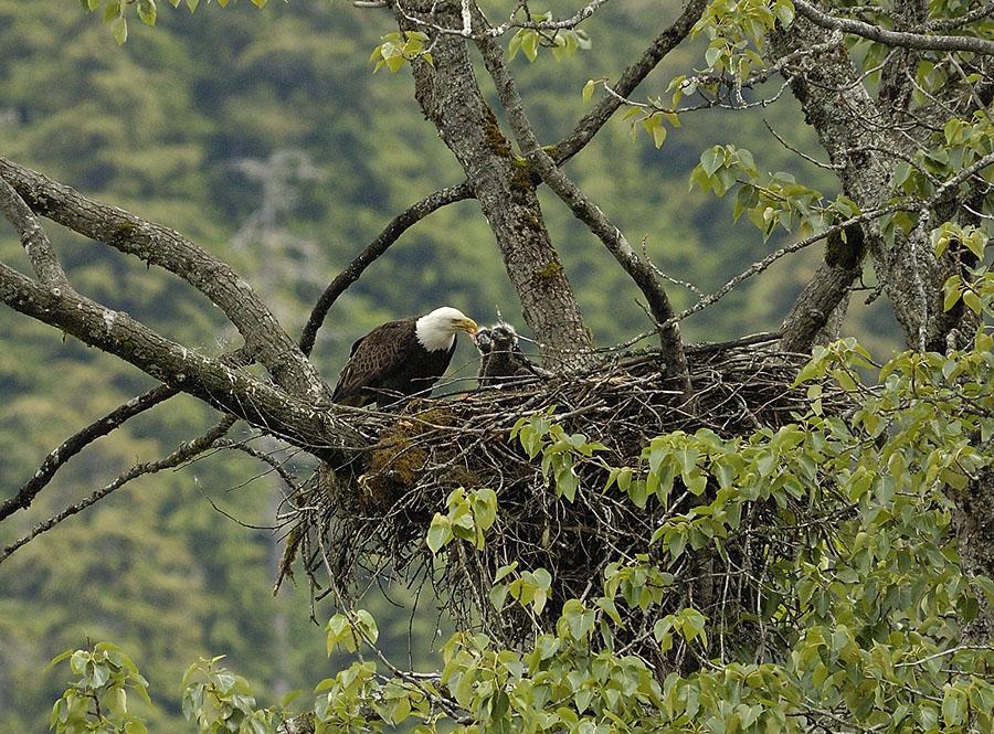 20140709 10922 eagle feeding 2 eaglets psr