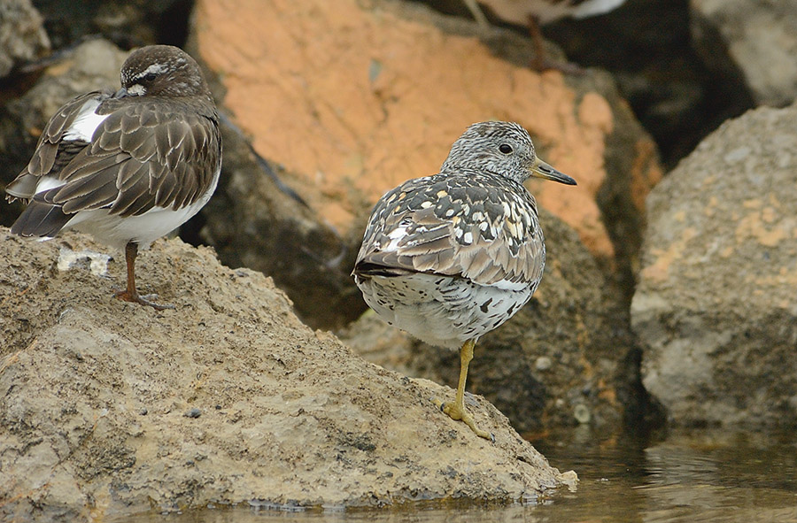 20140714 116 surfbird and sleeping turnstone psr