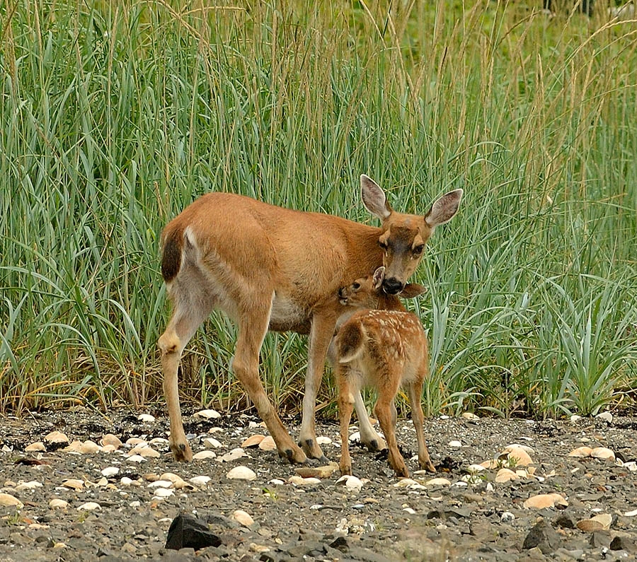 20140716 219 doe and fawn snuggling 2 psr